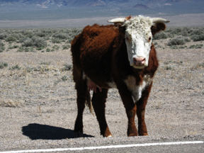 Cow near Area 51